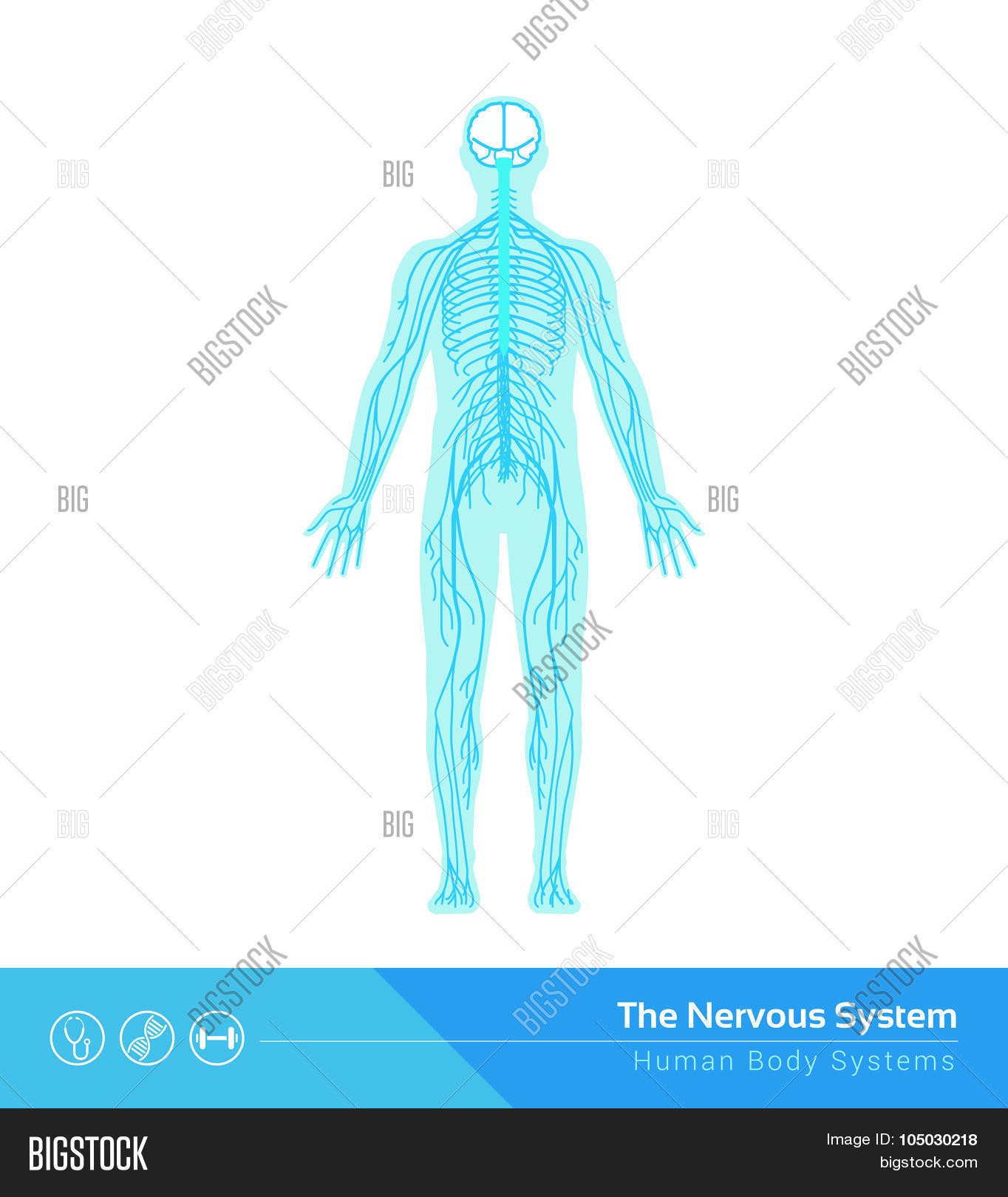 anatomical,anatomy,autonomic,biology,body,brain,central,cerebrospinal,cns,connections,cord,education,functions,health,healthcare,human,medicine,nerves,nervous,network,neurological,neurology,neurons,neuroscience,organism,peripheral,science,spinal,structure,sympathetic,synapses,system,transmission,vector