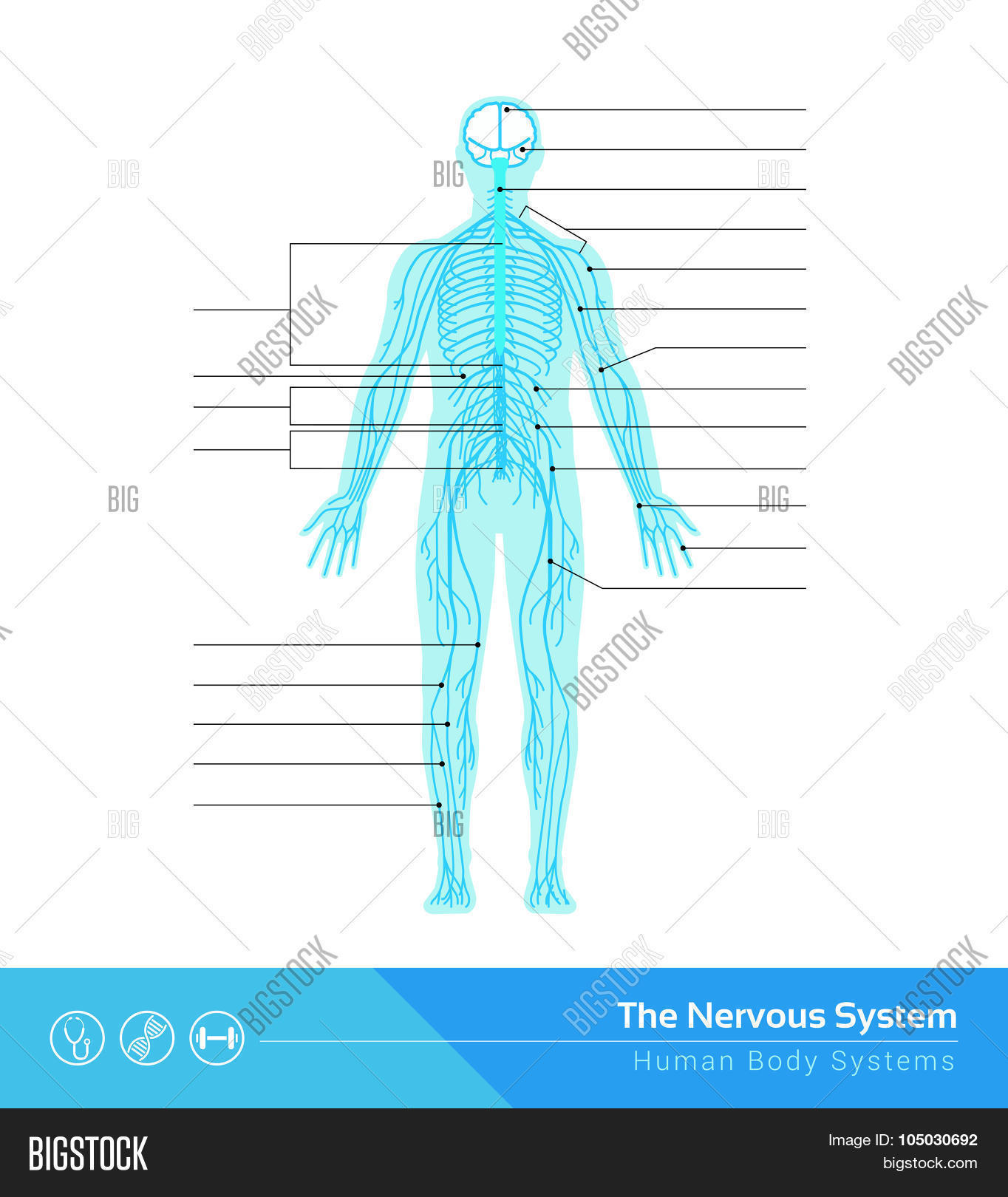 anatomical,anatomy,autonomic,biology,body,brain,central,cerebrospinal,cns,connections,copy,cord,diagram,education,functions,health,healthcare,human,label,labeled,medicine,name,nerves,nervous,network,neurological,neurology,neurons,neuroscience,organism,parts,peripheral,science,space,spinal,structure,sympathetic,synapses,system,text,transmission,vector