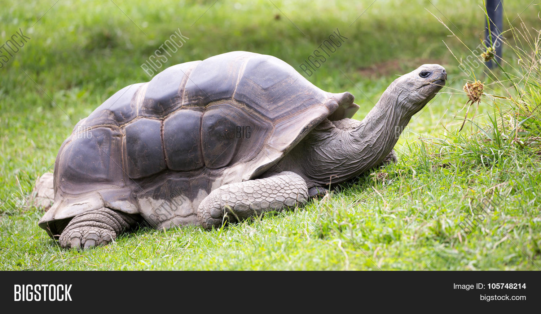 aldabra,animal,atoll,big,conservation,galapagos,geochelone,giant,gigantea,grass,head,island,nature,old,one,reptile,seychelles,shell,single,slow,species,tortoise,turtle,wildlife