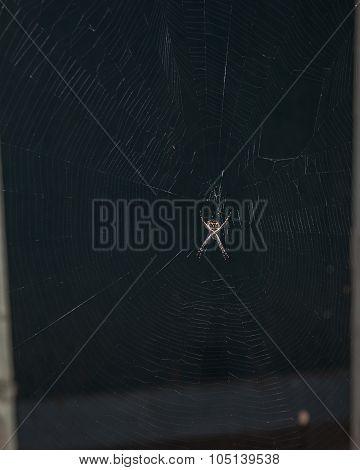 Silverback Orbweaver spider lying in wait on web. stock photo