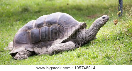 The Aldabra giant tortoise (Aldabrachelys gigantea), from the islands of the Aldabra Atoll in the Seychelles, is one of the largest tortoises in the world. stock photo