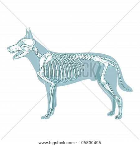 Dog skeleton veterinary vector illustration, dog osteology, bones stock photo