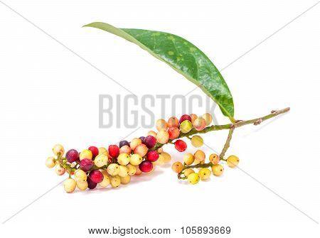 Antidesma velutinosum Blume Fruit isolated on white background stock photo