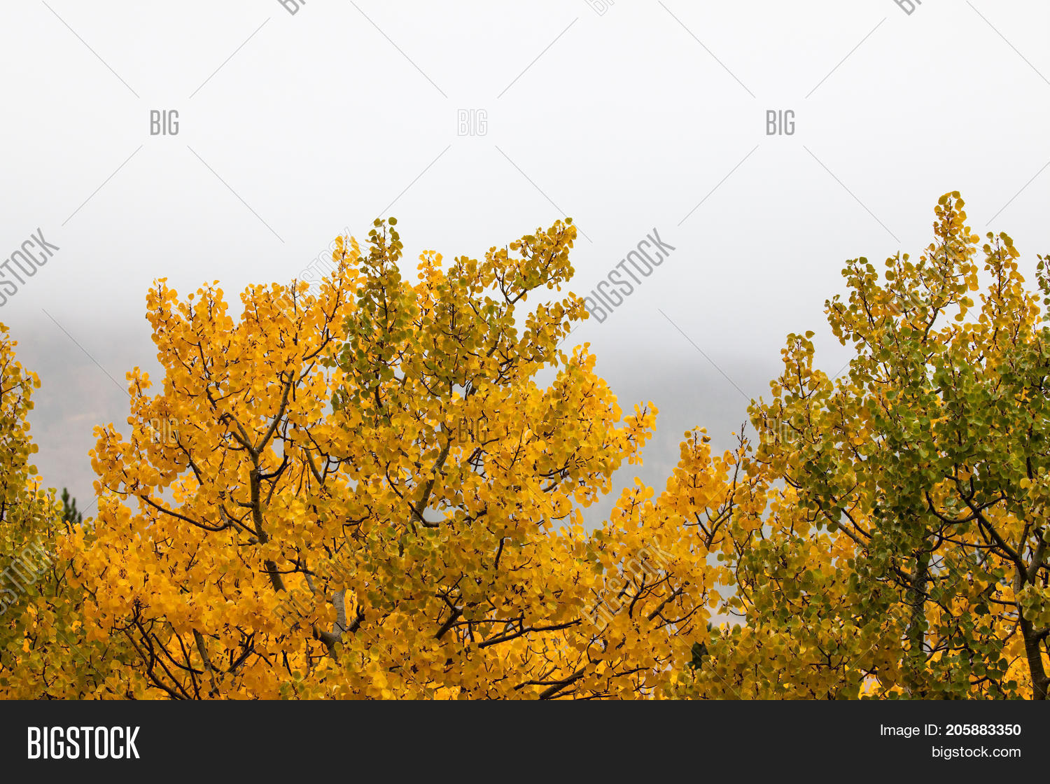 Aspen leaves changing from green to golden in autumn in rural Montana with a foggy background.