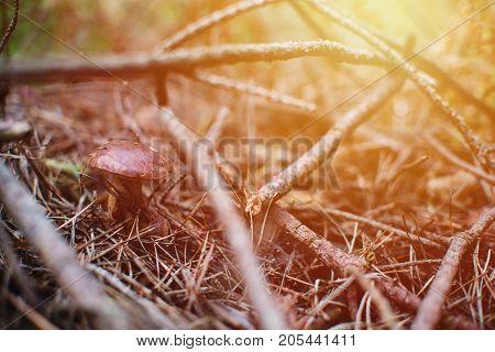 Close up on bay bolete ( Imleria badia ) in forest sunrise stock photo