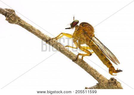 Close up Robber Fly on branch isolated on white background stock photo
