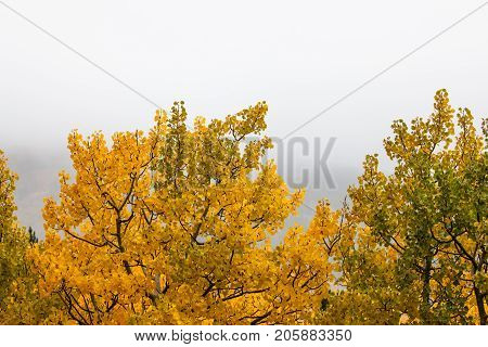 Aspen leaves changing from green to golden in autumn in rural Montana with a foggy background. stock photo