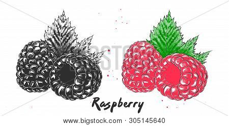 Vector engraved style illustration for posters, decoration and print. Hand drawn etching sketch of raspberry in monochrome and colorful. Detailed vegetarian food linocut drawing. stock photo