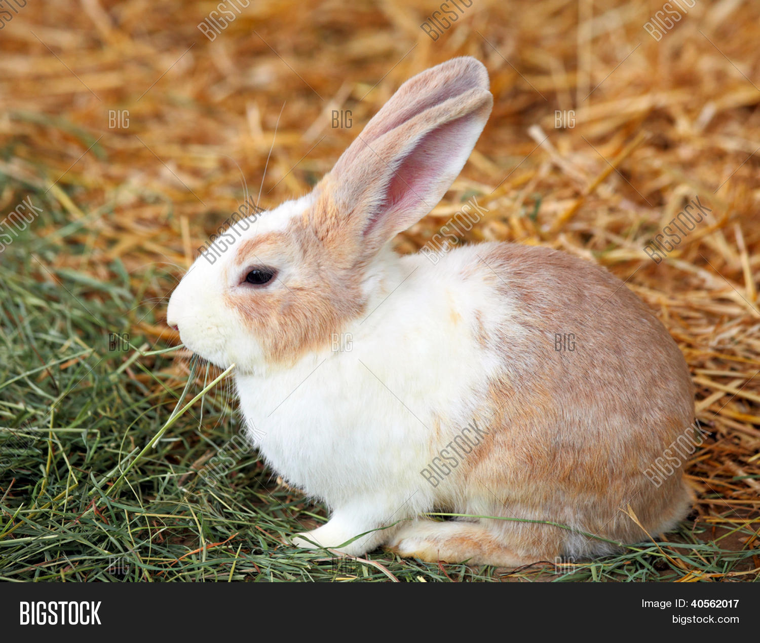 adorable,animal,bunnie,bunny,clean,countryside,curiosity,curious,cute,daisy,domestic,dots,ear,easter,egg,farm,fluffy,funny,fur,furry,grass,green,hare,holiday,hopping,huge,little,long,lop,meadow,nature,outdoor,outside,pet,rabbit,rodent,soft,spring,springtime,sweet,tame,thumper,white,young