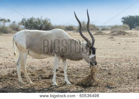 Curved horned antelope Addax (Addax nasomaculatus) is a wild native inhabitant of the Sahara desert. Recently it was introduced and adopted in nature reserve near Eilat, Israel stock photo