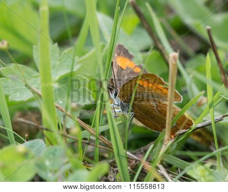 An extremely elusive and rare butterfly photographed amongst grass, with wings open ** Note: Visible grain at 100%, best at smaller sizes stock photo