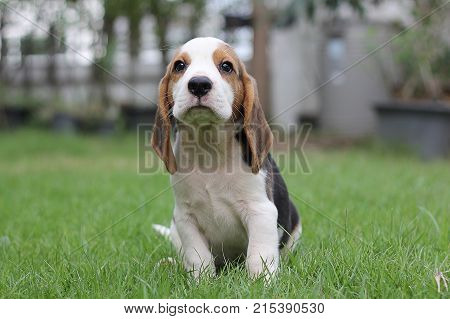 Beagle puppy sitting on grass,morning,sunny dog Beagle early in the morning at sunrise,Seven weeks old  cute little beagle puppy,cute dog lying on green grass,  Portrait cute dog,small cute beagle puppy dog looking up