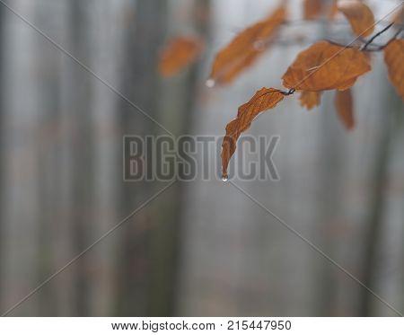 orange beech tree leaves with rain drop defocused mist forest background stock photo