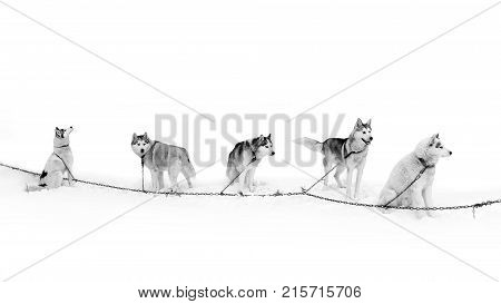 A team of Husky dogs on the breather. Northern sled dogs are used as transportation. A sturdy and draft sled Husky. stock photo