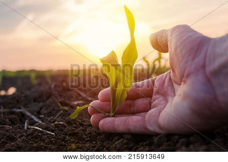 Farmer examining young green corn maize crop plant in cultivated agricultural field