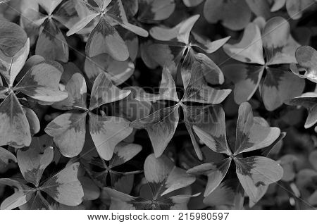 Oxalis tetraphylla, Oxalis Deppei. False Four - Leaved Clover, Heppy CLover. Monochrome Top View Abstract Natural background. stock photo