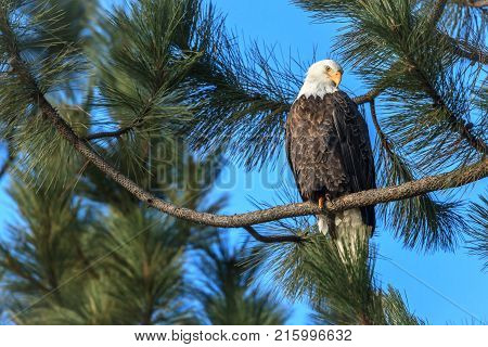 Alert eagle looks for fish on a branch near Coeur d'Alene Idaho. stock photo