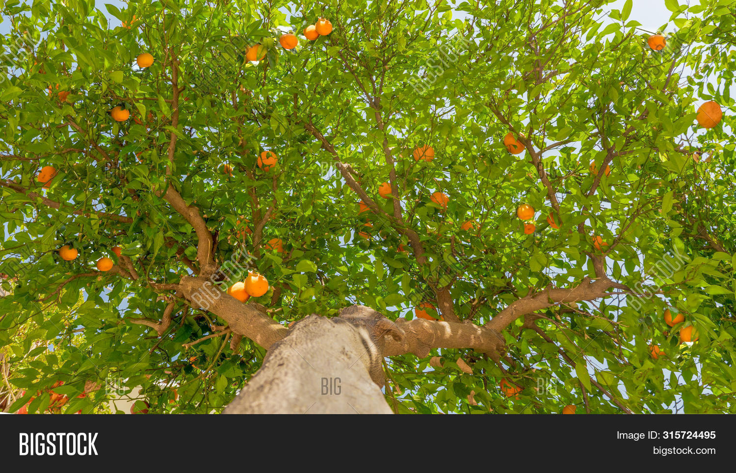 agriculture,background,branches,care,citrus,climate,concept,farm,farming,favorable,fruits,garden,grow,growing,harvest,harvesting,high,huge,leaf,leaves,lemons,moisturizing,nursing,orange,organic,plant,planting,production,ripe,smart,summer,summertime,tangerine,texture,travel,traveling,tree,trunk,vacation,yield