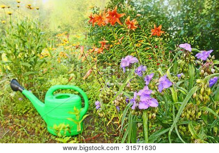 Flowerbed with the bush of spiderwort (Tradescantia virginian) and watering-can stock photo