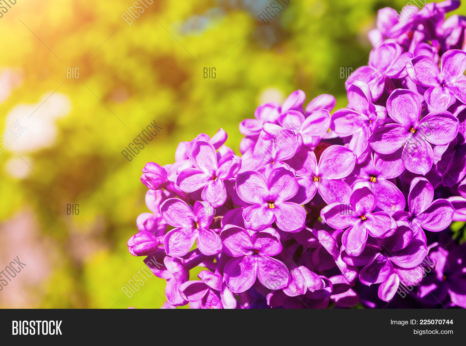 Lilac Flowers In The Spring Garden Spring Flower Background With