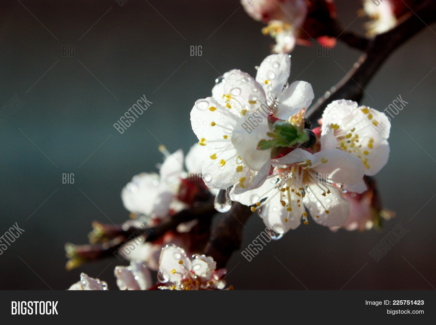 Apricot Tree Flowers Spring White Flowers On A Tree Branch
