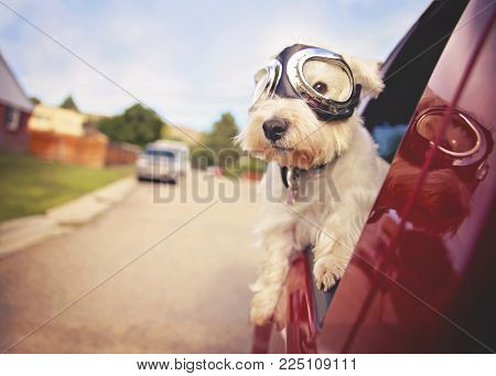 west highland white terrier with goggles on riding in a car with the window down through an urban ci