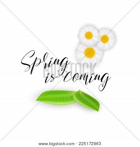 Spring is coming, handwritten calligraphic motivational spring quote, vector illustration. Realistic cute chamomile flowers, green leaves isolated on white background. Spring mood card for banners. Spring background, flowers and leaves. stock photo