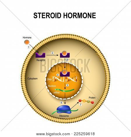 How steroid hormones work. interaction of the hormone with the intracellular receptor. Human endocrine signaling system stock photo