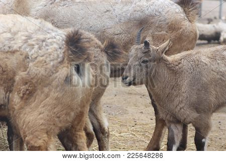 The West tur exhibits some impressive horns and is a cool animal. stock photo