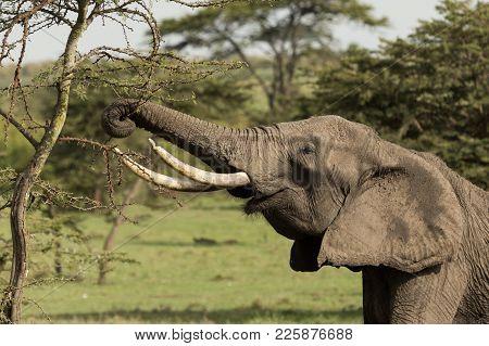 an elephant grazing on the trees of the Maasai Mara, Kenya stock photo