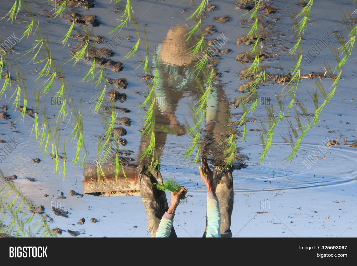 Water Reflection Of A Farmer Planting Rice Seedlings In A Muddy Rice Field And Wet, So That The Rice