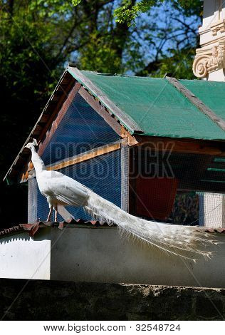 White peacock, albino at castle Blatna garden stock photo