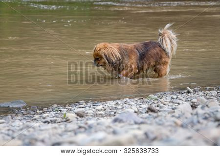 Pets are rescued from the heat, the dog is cooled in a mountain river 1 stock photo