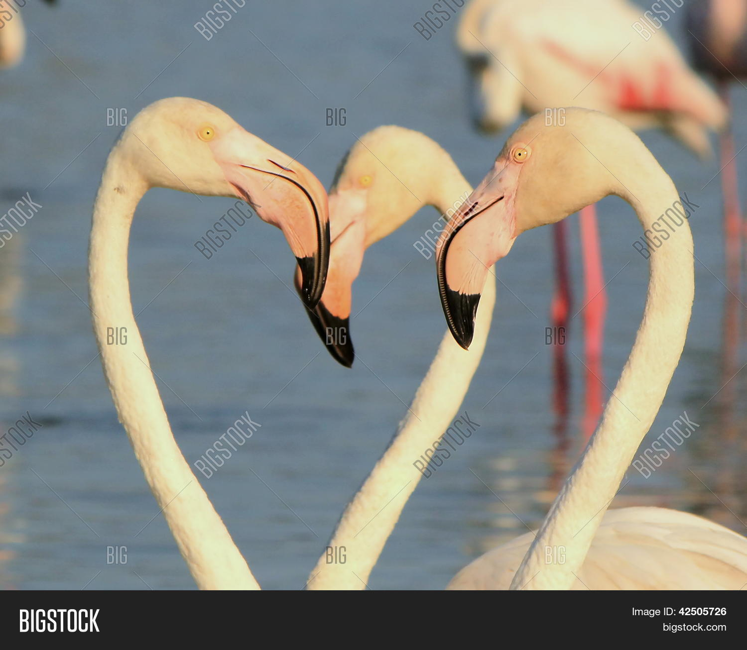 Close up of several white flamingo heads