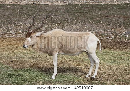 An endangered addax grazes on the savanna stock photo
