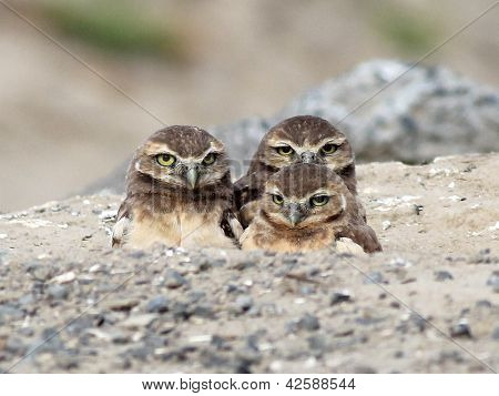 Trois jeunes chevêches