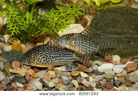 Corydoras fish on the bottom and in the aquarium. stock photo