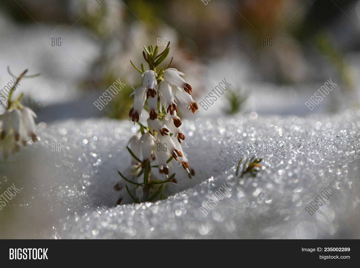 White Heather Erica Sp Flowering Through Snow A Close Up Of