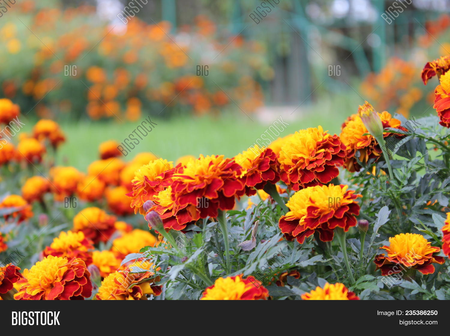 Lots Of Beautiful Marigold Flowers Tagetes Erecta Mexican