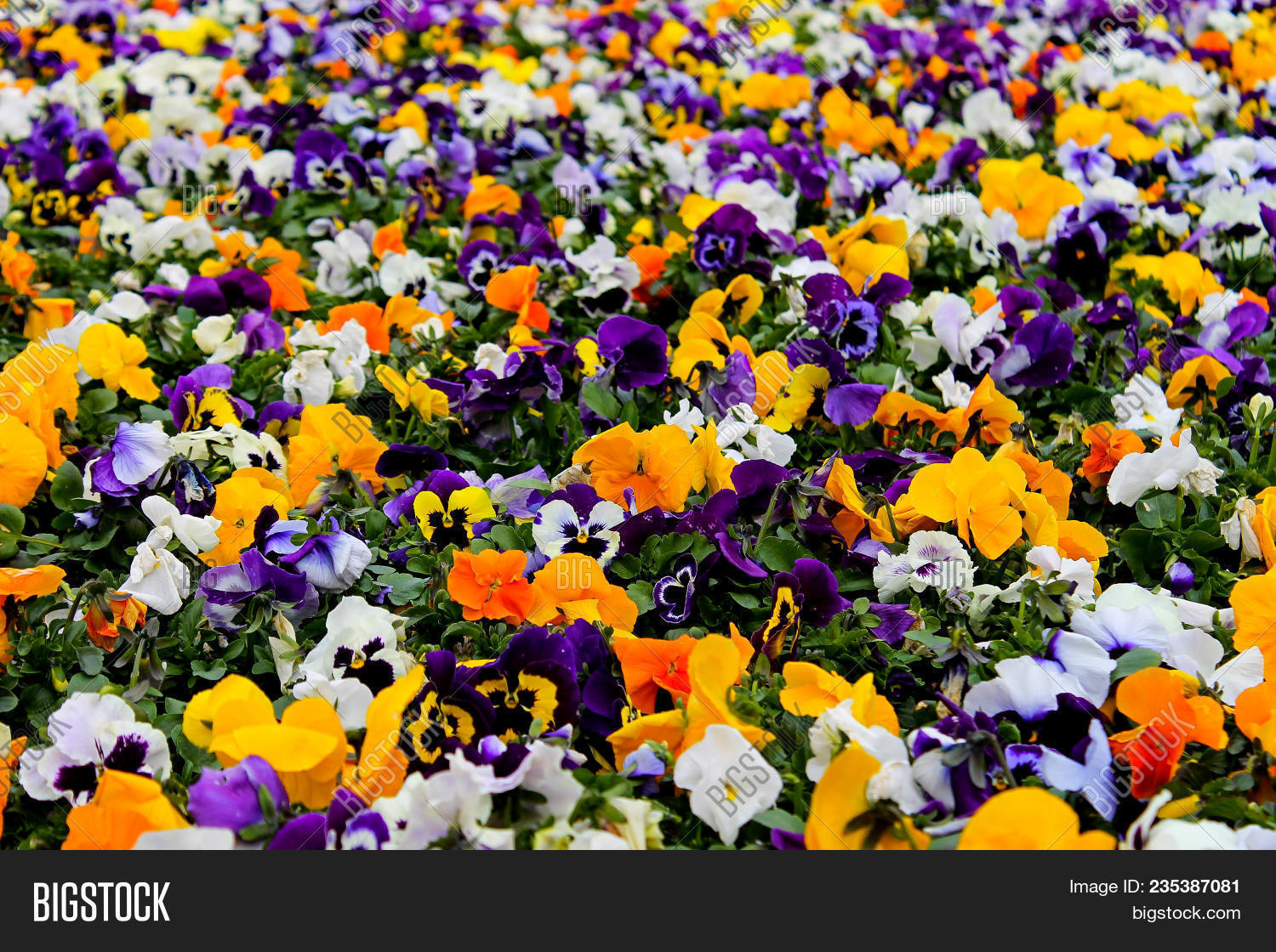 Multicolor Pansy Flowers Or Pansies As Background Or Card Field