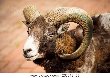 Animal portrait of mouflon or wild goat with curvy horns. stock photo