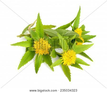 Rhodiola rosea (commonly golden root, rose root, roseroot, western roseroot, Aaron's rod, Arctic root, king's crown, lignum rhodium, orpin rose). Isolated on white background. stock photo