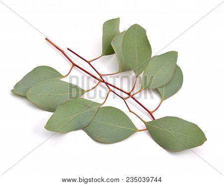 Two green Eucalyptus twigs. Isolatedon white background. stock photo