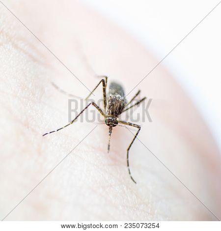 Aedes aegypti or yellow fever mosquito feeding blood on human skin, virus carrier spreading dengue, chikungunya, Zika, Mayaro, Malaria epidemic disease stock photo