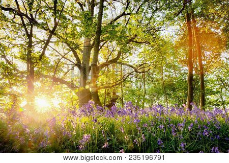 Amazing bluebell forest with sunrise bursting through the trees, Fresh natural landscape with spring flowers under the woodland trees. Located in Norfolkk UK stock photo