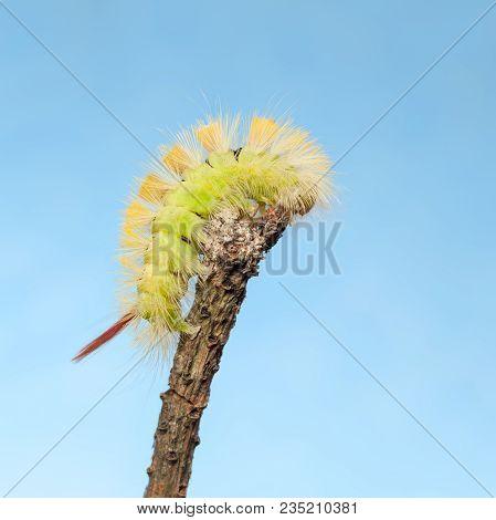 Macro of big yellow bushy caterpillar (Calliteara pudibunda) on tree twig top over blue sky background stock photo