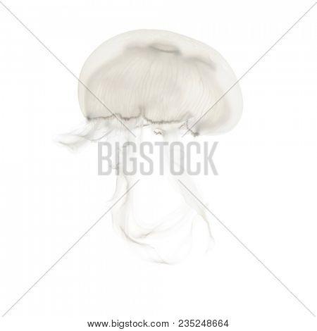 Aurelia aurita also called the common jellyfish against white background stock photo