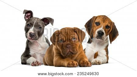 Group of puppies lying against white background