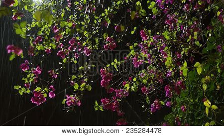 Flower in Rain. Beautiful purple Garden Flowers in Rain at the black night background. Summer nature dark background. Rainstorm and Night flowering bushes In Asia (Thailand, Sri Lanka, India, Bali). Water drops. Rainy season stock photo