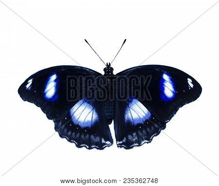 Common eggfly, or great eggfly, or blue moon butterfly, Hypolimnas bolina, isolated on white background. The butterfly is black with white spots opalizing to blue stock photo